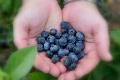 50 Fun Free or Cheap Things to Do With Your Kids This Summer  |  Pick Some Berries