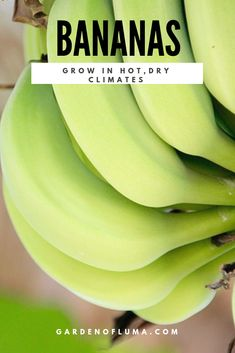 Tips for growing banana trees in hot climates like the Arizona Desert. Grow bananas in your backyard landscape.