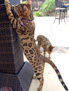 ... changes it's spots….The development of rosettes in a Bengal cat #catmeow - Catsincare.com!
