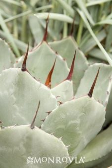 Monrovia's Artichoke Agave details and information. Learn more about Monrovia plants and best practices for best possible plant performance.