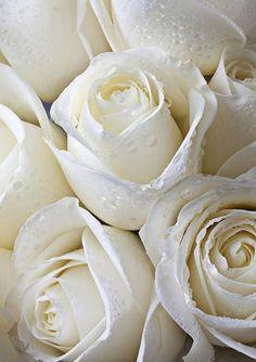 White Roses from: Ana Rosa Love Rose, My Flower, Pretty Flowers, Dandelion Flower, White Roses, White Flowers, Colorful Roses, Cream Roses, Rosen Beet