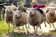 Sheep Racing, Devon, England - Pixdaus
