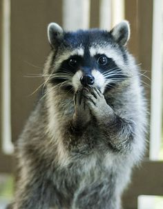 This raccoon is so surprised!