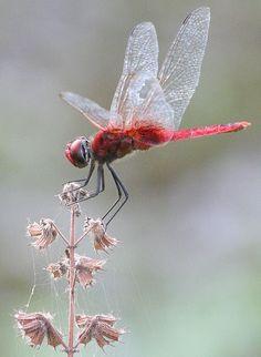 Dragonfly εїз