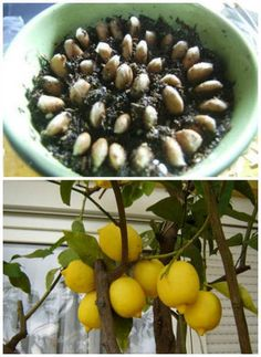 How to Grow an Endless Supply of Lemons From Seed