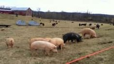 Hogs outside, all year round? When we say 'free-range,' we mean free-range! See how our pigs are still out grazing in the dead of winter, and listen to some of the philosophy of turning 65 big rooters out onto the pasture. Large White Pig, Farms Living, Homestead Living, Future Farms, Pig Farming, Free Range, The Outsiders, Sustainable Living, Pigs
