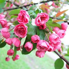 Crabapples are small to mid-size trees that range in habit from low mounds to upright, column-shape, or weeping specimens: http://www.bhg.com/gardening/design/styles/fragrant-plant-favorites/?socsrc=bhgpin031414floweringcrabapple&page=14