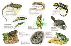 TE-38 – Reptile und Lurche Flora, Animal Species, Paper Dolls, Homeschooling, Education, Outdoor, Speech Language Therapy, Animaux, Honey Bees