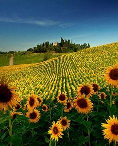 Sunflower Field, Tuscany, Italy