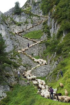 "Hundreds of sheep head up a perilous Alpine path at the end of summer grazing on Aletsch glacier, Switzerland. They are headed to the village of Belap, Valais Canton, Switzerland, for a festival and a ""beauty contest."""