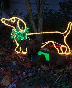 Dachshund in Christmas lights Mini Dachshund, Christmas Dachshund, Daschund, Dachshund Puppies, Dog Love, Puppy Love, Weenie Dogs, Doggies, Dog Cat