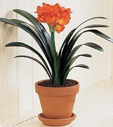 clivia-miniata, Kaffir lily, poison parts are the roots
