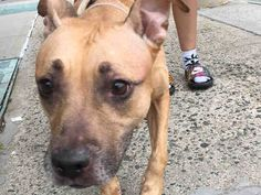 SUPER URGENT - ROXY - A1088491 - - Brooklyn Please Share:TO BE DESTROYED 09/08/16**DEVASTATED…