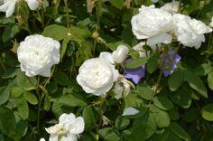 #mottisfontNT Rose Garden