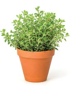 Oregano (Origanum vulgare) help with digestive problems, diarrhea, and gas.