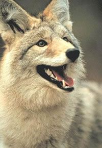 Coyote facial expression should exhibit playfulness and excitement