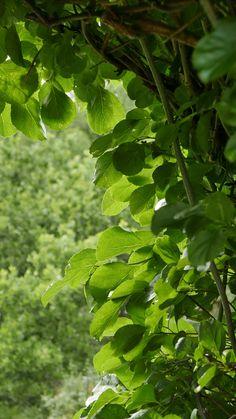 Seks kule klatreplanter du vil lykkes med - Tusenfryden Plant Leaves, Herbs, Garden, Plants, Garten, Herb, Flora, Plant, Lawn And Garden