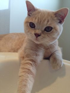 Ted Cream British shorthair