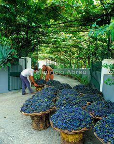 Las uvas durante la cosecha en la isla de Madeira, Portugal
