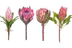New Birthday Flowers Illustration Pink Roses 27 Ideas Protea Art, Protea Flower, Botanical Illustration, Graphic Illustration, Cactus E Suculentas, Hand Drawn Flowers, Romantic Roses, Rose Petals, Watercolor Flowers