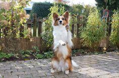 """Hallo ihr Lieben! Nach längerem üben gibt es wieder eine neue Trick-Anleitung. Dieses mal """"Männchen machen"""". Um Kaya diesen Trick beizubringen hat es dieses Mal um einiges Länger gedau… Havanese Grooming, Dog Hacks, Animals And Pets, Your Dog, Corgi, Marvel, Kaya, High Five, Dog Fashion"""
