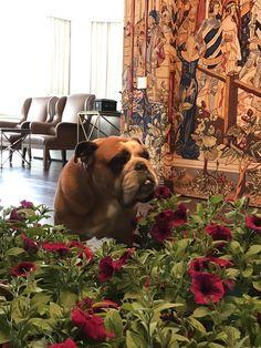 Oscar#english bulldog