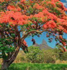 Flamboyant Tree | Bambous, Mauritius (http://www.facebook.com/BeautyOfMauritius)