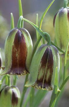 Details: Green Garden Keywords: Fritillaria Pyrenaica Brown Fritillary Garden Partnership Variegated Fritillaria Green Flower Petal Entwine...