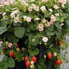 AMPELJORDGUBBE ROMAN' F1 - 3 PLANTORArtnr. SM7000 Fragaria Ampeljordgubbe med söta, rosa blommor som ger en stor skörd av välsmakande bär från slutet av juni ända tills det fryser på hösten. Kan planteras i amplar, krukor eller på friland.