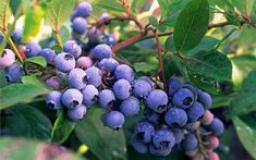 Sladké borůvkové plody vypěstujete i na balkóně. Na snímku odrůda Burlington