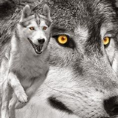 White Wolf : Tribal Council declares White Earth Reservation a wolf sanctuary