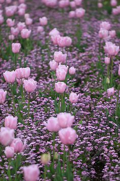 Pink Tulips -- Linda will have a garden that looks like this some day. My sweet daughter in law. She loves tulips. Tulips Garden, Daffodils, Planting Flowers, Amazing Flowers, Beautiful Flowers, Foto Picture, Pink Tulips, Purple Flowers, My Secret Garden