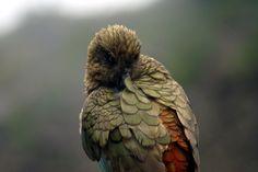 Kea, a mountain parrot. New Zealand, South Island