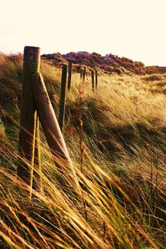 Golden grasses.. Curracloe Beach, County Wexford, Ireland.