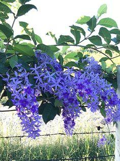 10 seeds Petrea volubilis L. Volubilis, Big Plants, Exotic Plants, Purple Plants, Potted Plants, Growing Flowers, Planting Flowers, Potted Flowers, Flower Pot Design