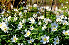 valkovuokko/anemone White Anemone, Spring Awakening, Most Beautiful, Nature, Plants, Nice Asses, Naturaleza, Plant, Nature Illustration