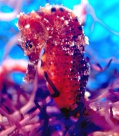 by Seahorse Hawaii.JPG Feeding the #seahorses and #gobies - Save 50% on live food during the 2015 Labor Day weekend while supplies last. #reef #coralreef #ocean #seahorse #pods #aquarium #coral #reef #ocean #aquariums #saltwater #sealife #saltwaterfish #reeftank #sea #aquascape #fishtank #fish