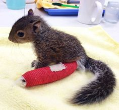 """This adorable baby squirrel was picked up from a sidewalk in Washington D.C. with a broken ankle, chipped tooth and bloody nose. Luckily, a concerned passer-by picked it up and took it to City Wildlife, where vets gave it a leg brace."""