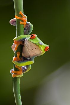Red eyes frog by Dikky Oesin