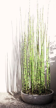 Equisetum japonicum. Spreads like crazy so planter required. No hole at the bottom, this fellow likes having wet feet.