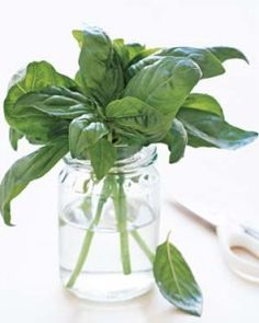 Top Four Tips for Harvesting and Storing Fresh Herbs | Herbs are wonderful additions to your diet and home healthcare arsenal. These tips should help you get the most out of them.    Read More of This Article Here: http://www.momshearth.com/top-tips-harvesting-storing-fresh-herbs/