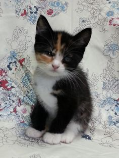 Meet Monica 22560, a Petfinder adoptable Domestic Short Hair Cat | Prattville, AL | Monica is a 7 week old, female, calico kitten.Dogs and puppies may be adopted for a fee of $120....