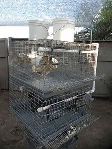 Quail cages Breeding and Laying Chicken Cages, Chicken Pen, Diy Chicken Coop, Quail Pen, Raising Quail, Live Chicken, Chicken Incubator, Chicken Breeds, Bird Cages