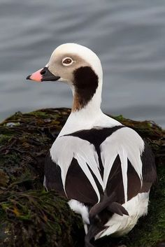 Foto Long-tailed Duck, formerly known as the Oldsquaw