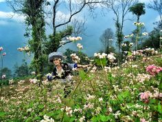 the buckwheat flower season has already started in Hagiang    #Hagiangtours #TravellingHaGiang #buckwheatflower #vietnamholidays #vietnamtours