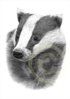 European Badger pencil drawing print - A4 size - artwork signed by artist Gary Tymon - Ltd Ed 50 prints only - pencil portrait