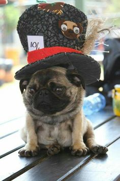 Two of my favorite things! Alice in Wonderland and Pugs! #MadHatter #Pug
