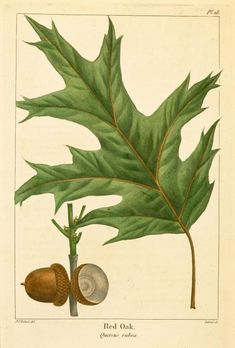 """Northern red oak, Quercus rubra, is long-lived & grows to 90', exceptionally to 140', with a trunk diameter of 20–40"""". Stout branches grow at right angles to the trunk, forming a narrow round-topped head. Grows rapidly & is tolerant of many soils & varied situations. Leaves alternate, 7-9 lobed, 5-10"""" long, 4-6"""" broad; lobes tapering gradually from broad bases & less deeply cut than most others in the red oak group. Acorns mature in 18 mo. Occurs in the northern 2/3 of Arkansas."""