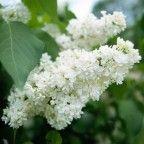 las-mejores-flores-para-perfumar-tu-jardin-12 lilas