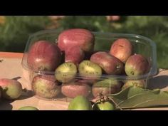 Aktinidia - Mini Kiwi - wyhodowana w SGGW - YouTube